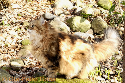 Sibirische Katzen Spirit of New Heaven´s Catjuscha